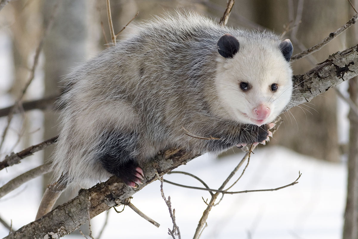 An opossum in a tree.
