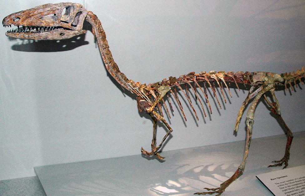A dinosaur skeleton in a museum.