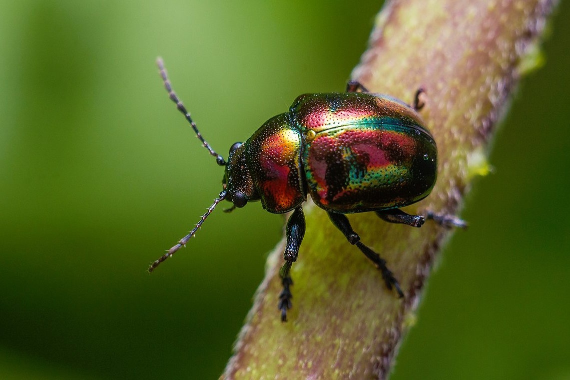 Iridescent beetle.