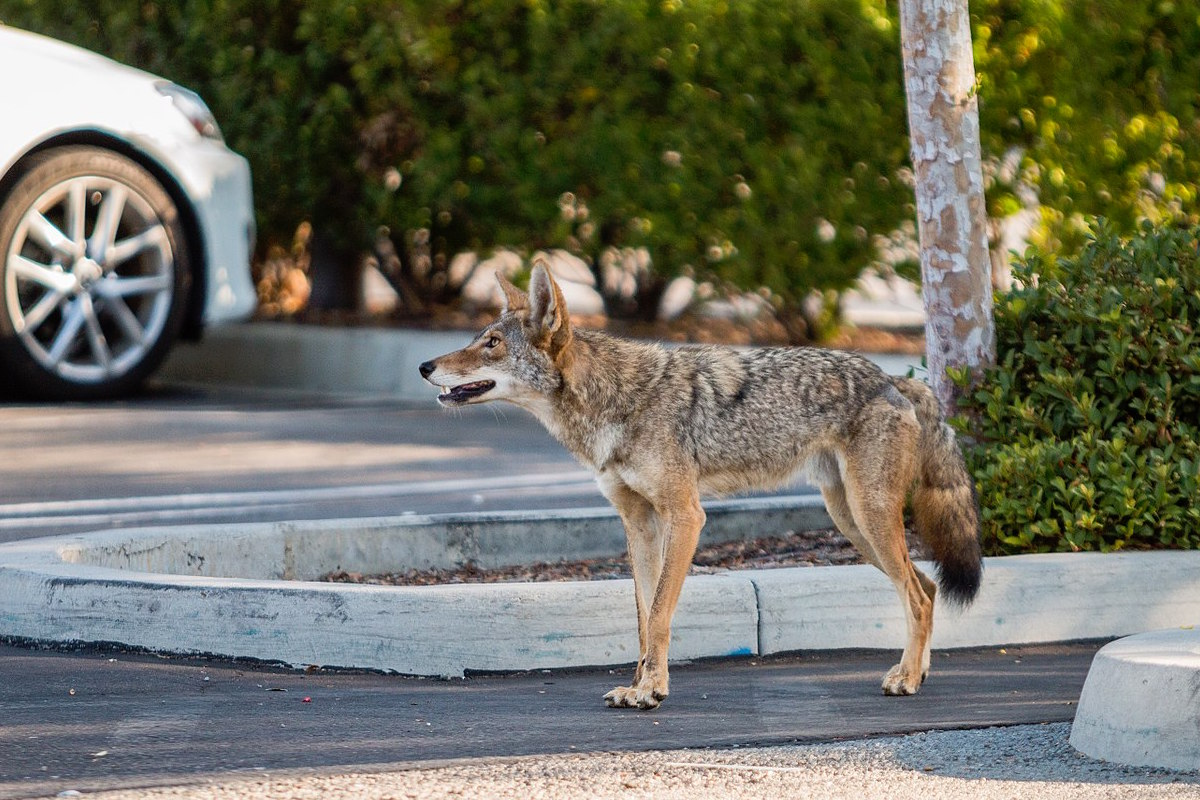 A coyote in a parking lot.