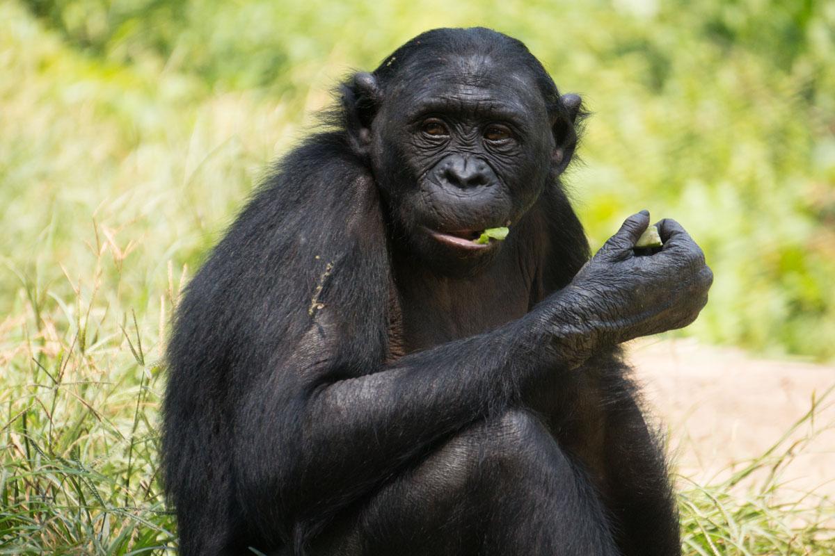 Bonobo in the wild.