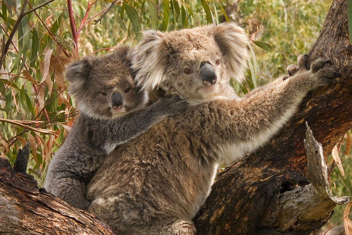 Photo of two koalas.