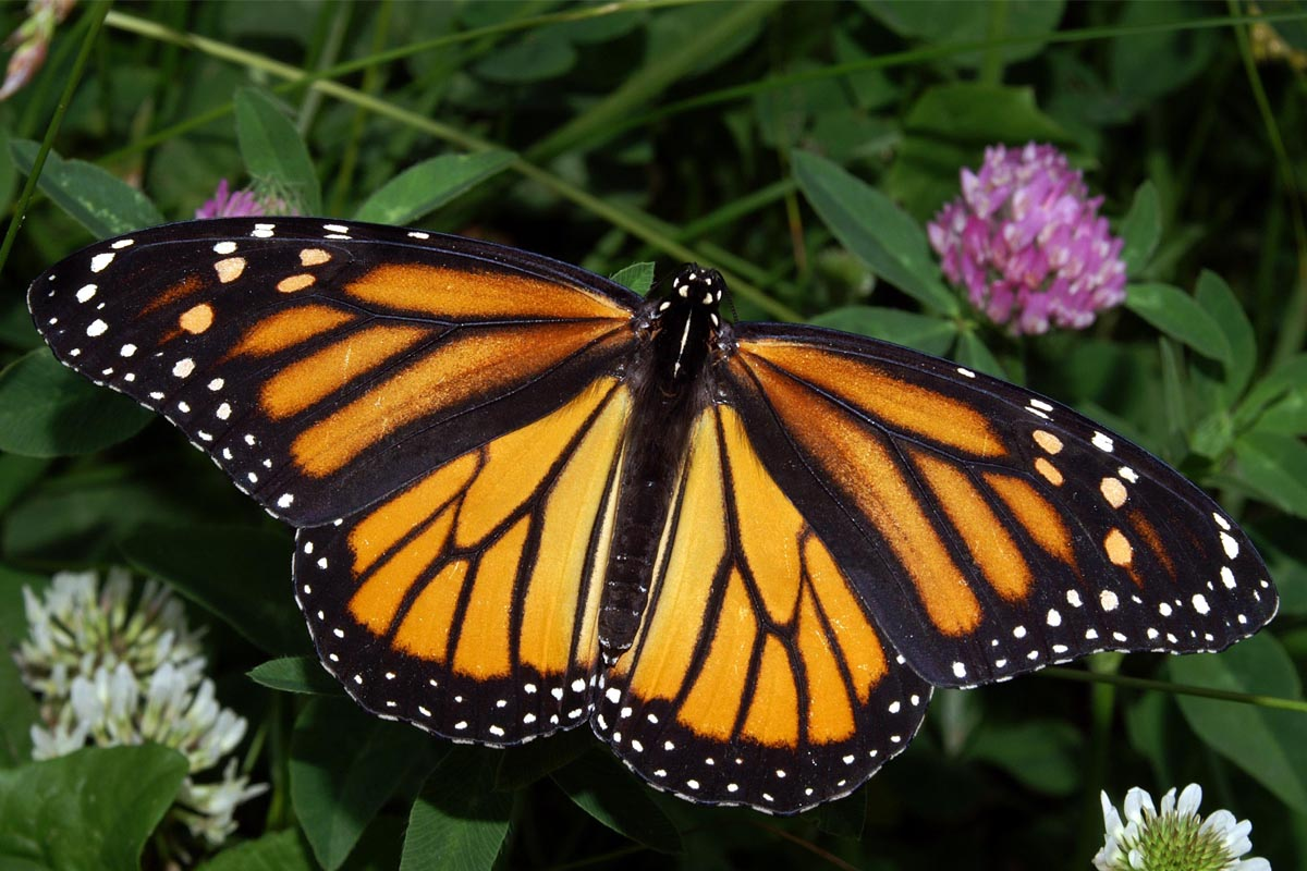 A monarch butterfly.