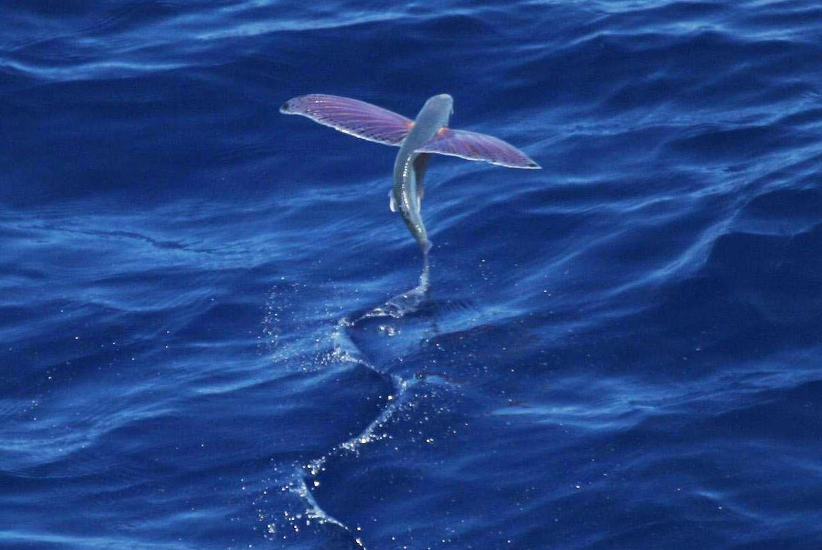 Flying fish in the ocean.