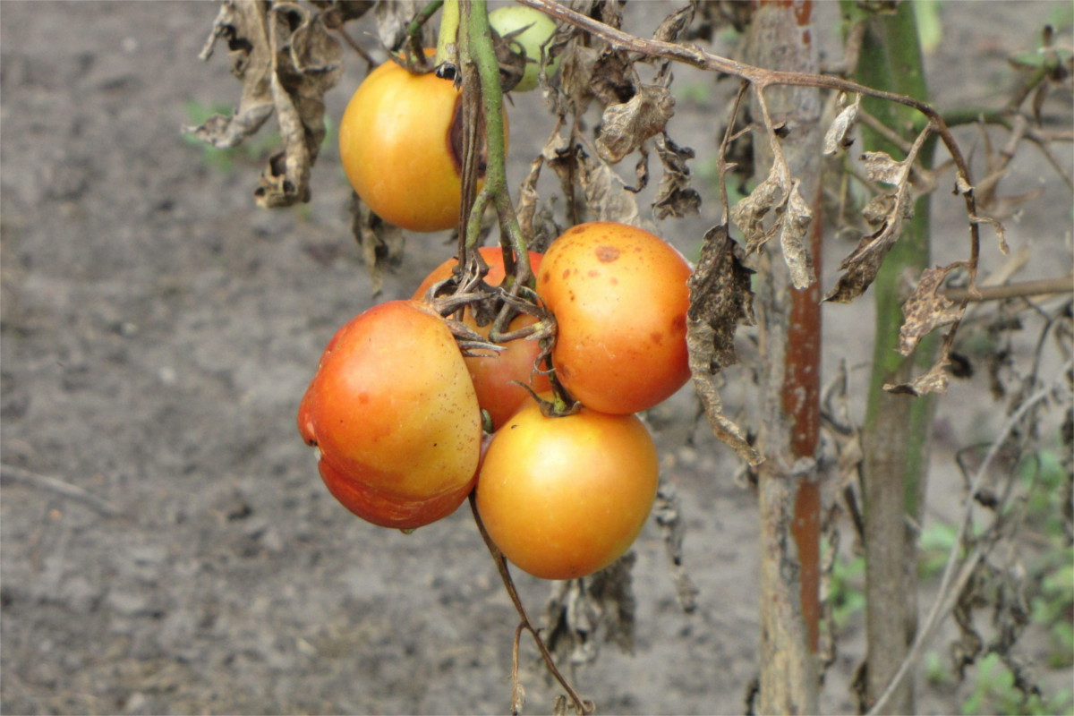 Sun-bleached orange tomatoes on a dying vine.