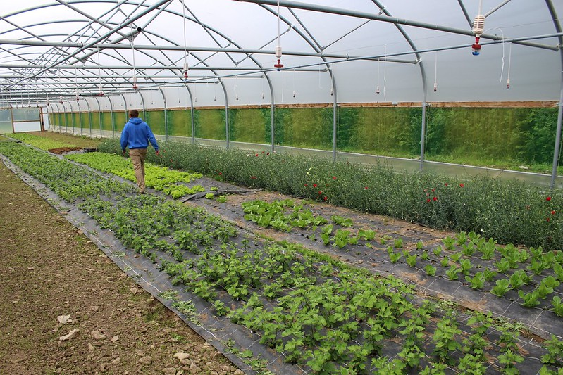 A person, seen from behind, walking in a large hoop house with edible greens growing on the ground in rows.