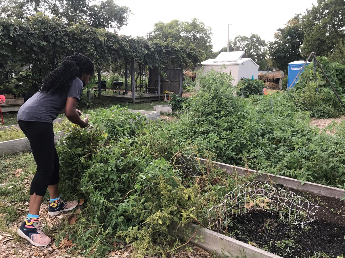 A woman with her back to the camera bends over a tomato bed in a garden.