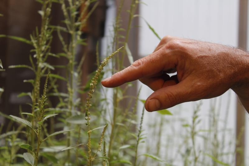 A hand with index finger pointing to the flowering part of a water hemp plant in a greenhouse