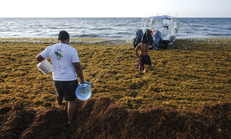 Men walking through sargassum seaweed towards a boat in Playa del Carmen, Mexico, May 2019.