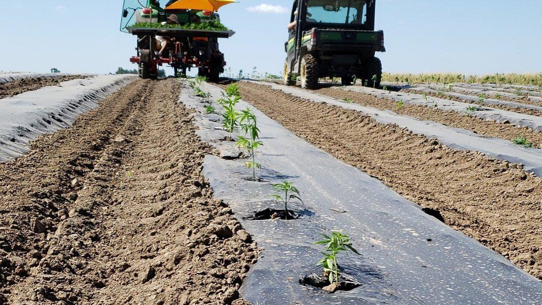 A row of small hemp plants growing in a row with black plastic and dirt and farm equipment in the background