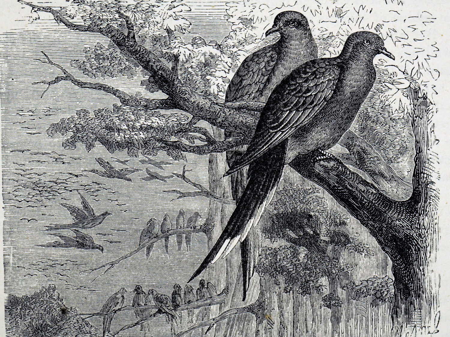 19th century engraving of pigeons