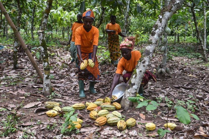 Cocoa producers of the Yakasse-Attobrou Agricultural Cooperative