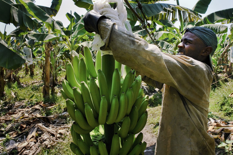 A Colombian worker checks the plastic protection cover over a banana bunch on a plantation in Aracataca, Colombia