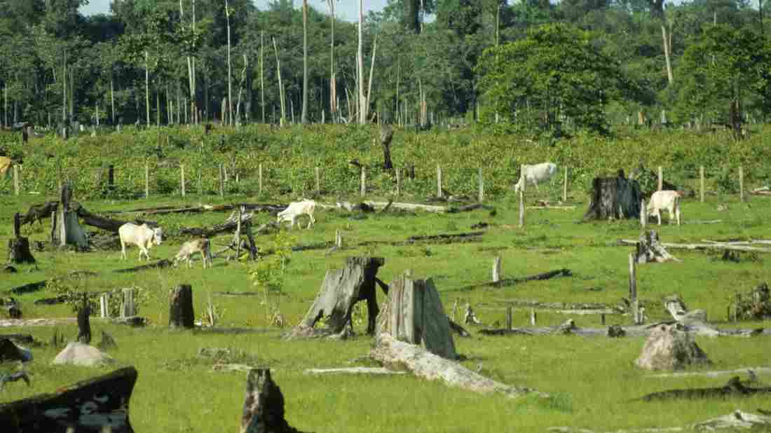 Cattle graze in cleared rainforest