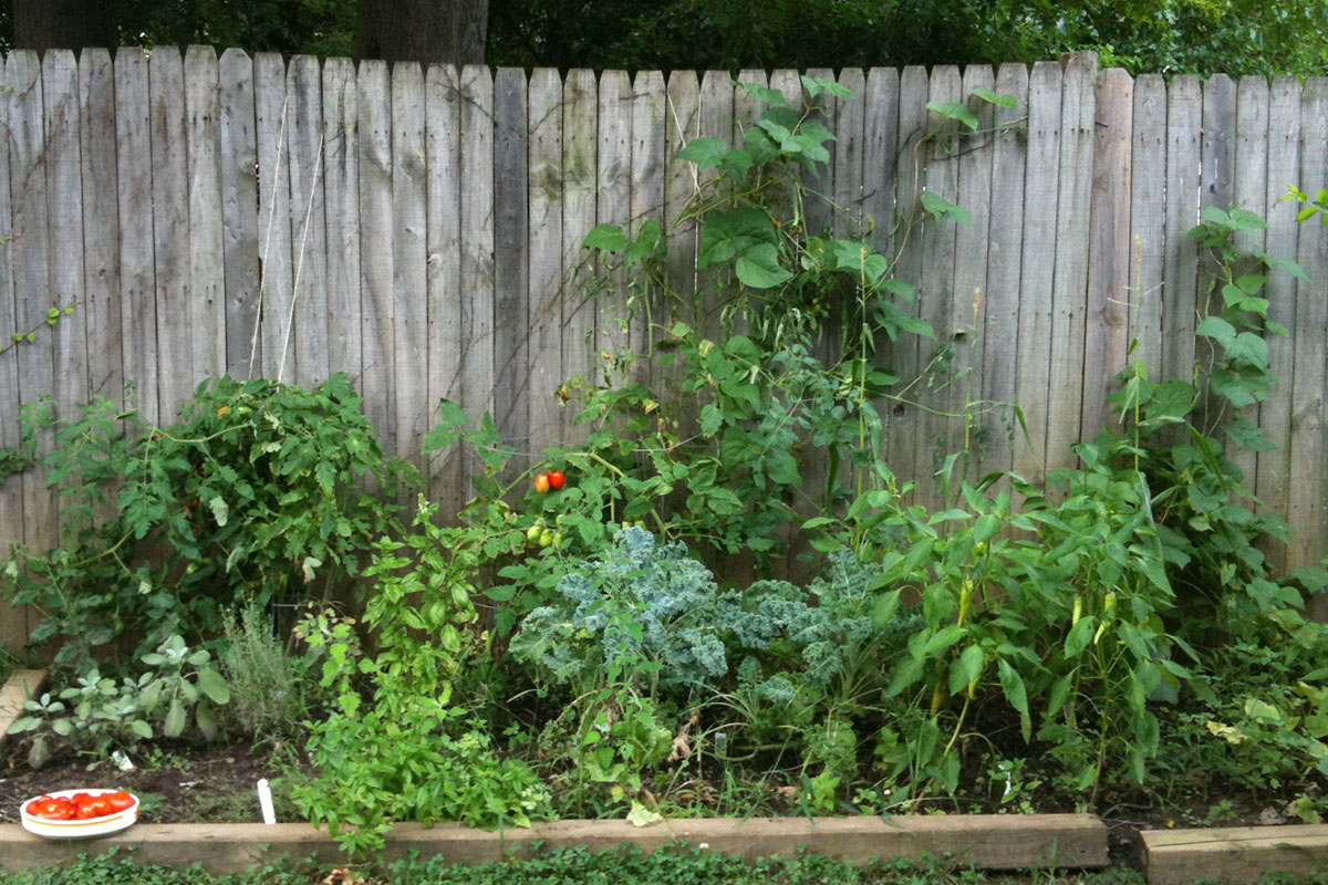 A garden bed of herbs, tomatoes, kale, peppers and green bean vines climbing a backyard fence and a tray of ripe tomatoes on the edge of the bed.