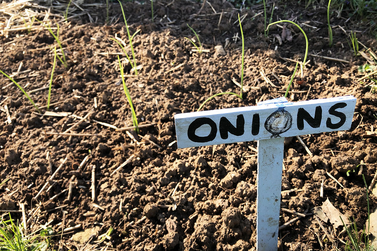 A handpainted wooden marker with the word 'onions' and young onion starts in soil.