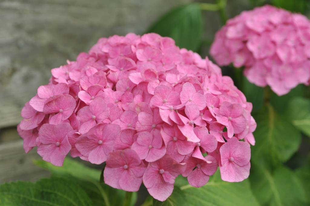 pink hydrangeas in a row