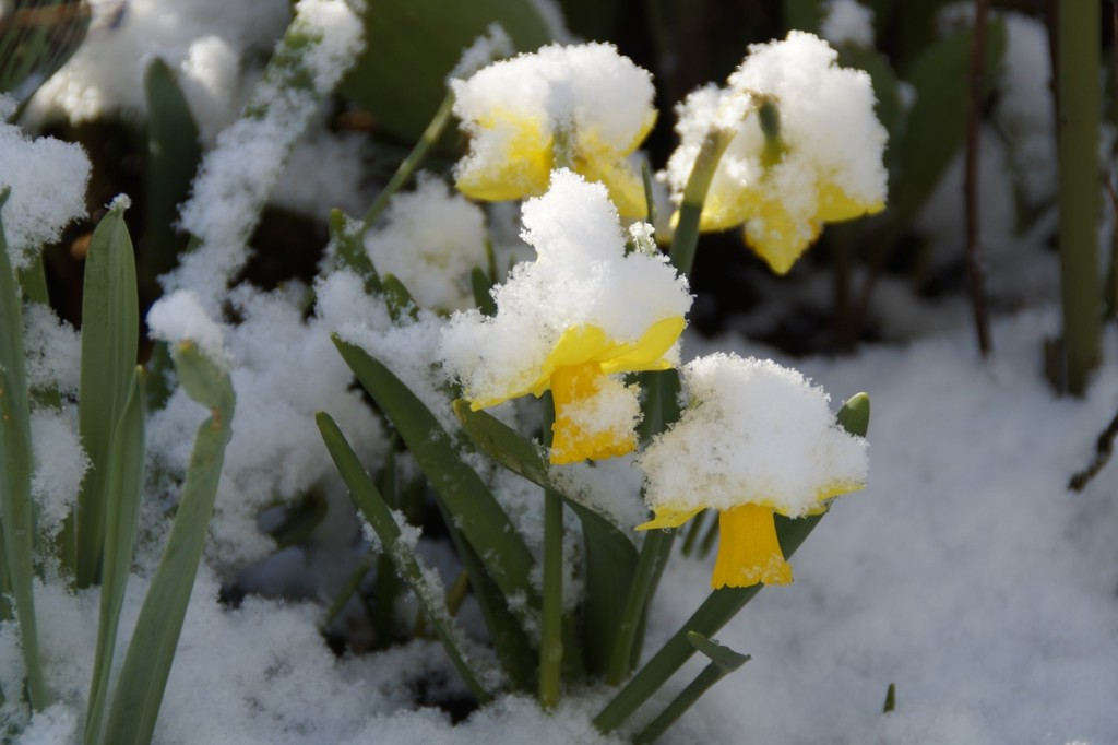Daffodils caught in a surprise snow.