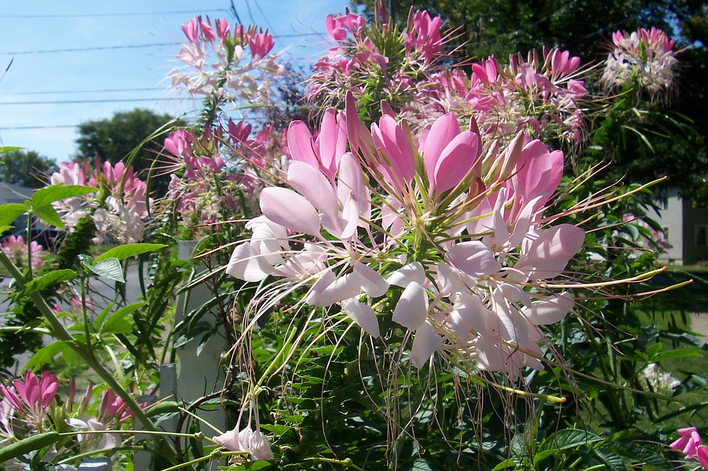 a barrage of cleome flowers