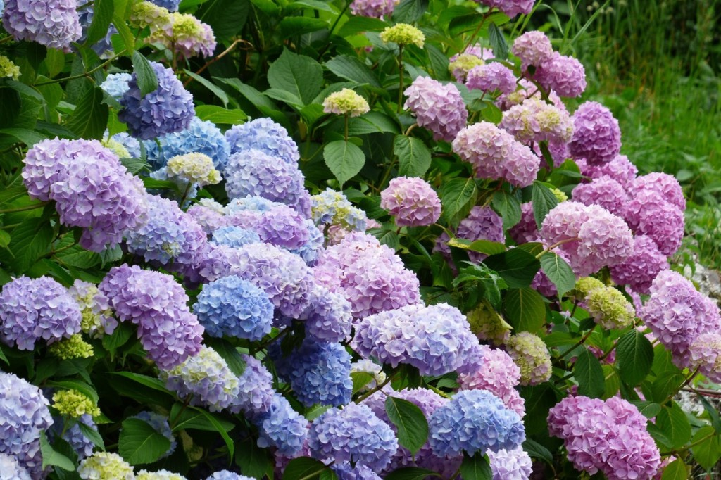 Hydrangea shrub with both pink and blue flowers.