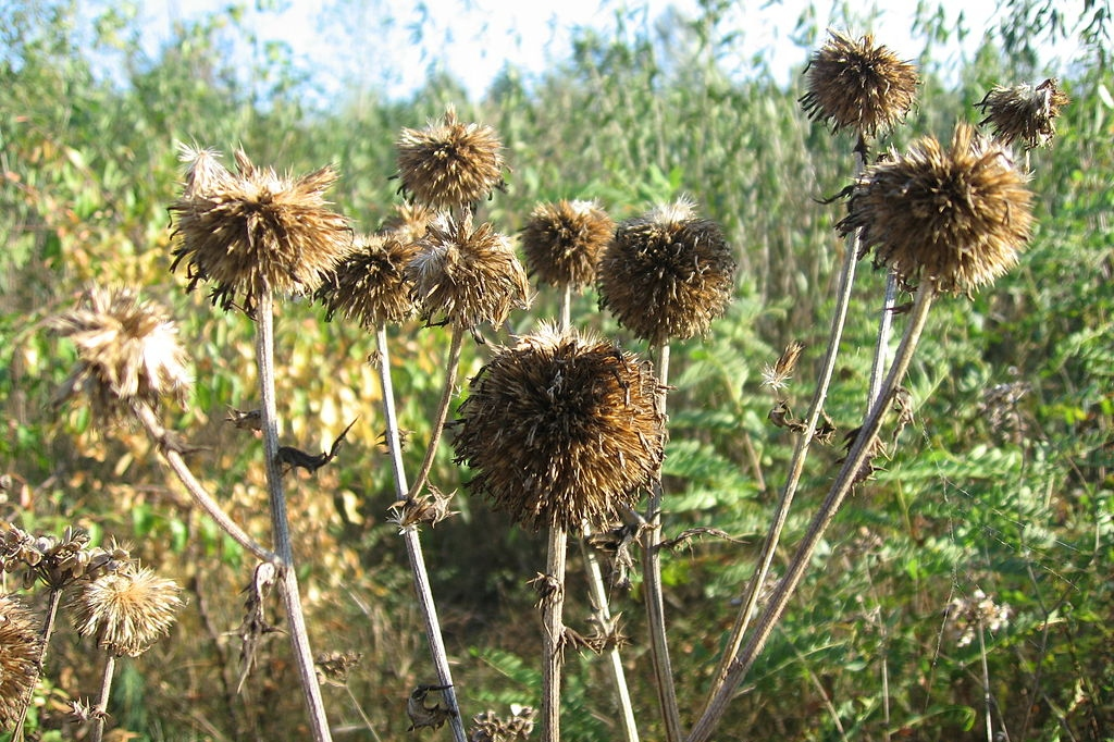 Light brown dead thistle seed pods, light browns in a field.