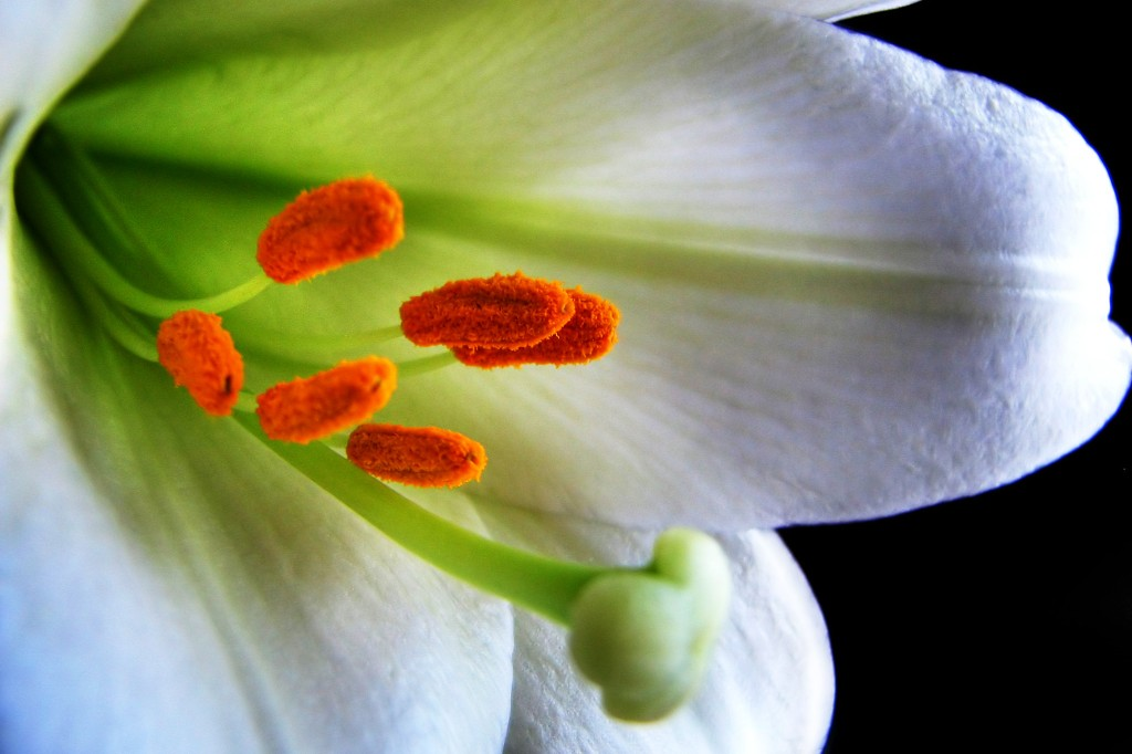White Easter Lily.