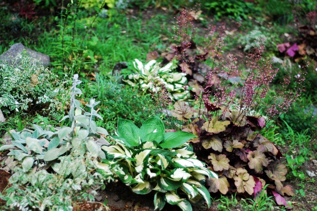 Lambs Ears, Variegated Hostas, and Dark Red and Pink Coral Bells