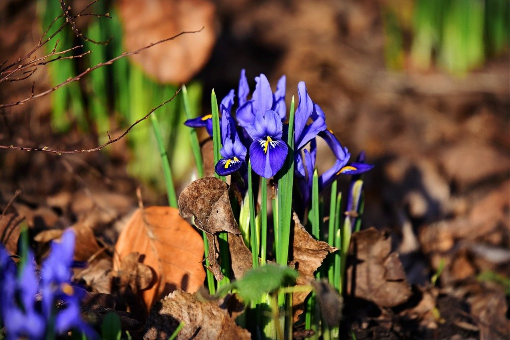 The purple bloom of Iris reticulate in early spring.
