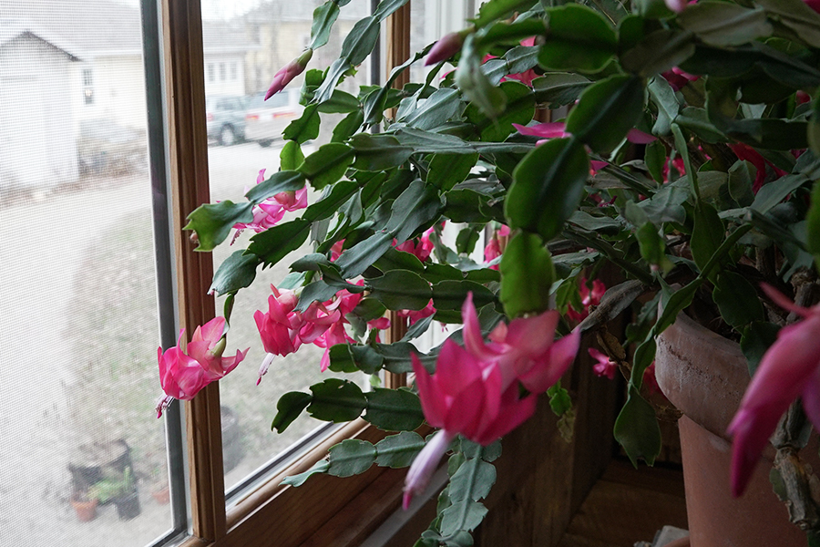 Wylie House second Christmas cactus at window