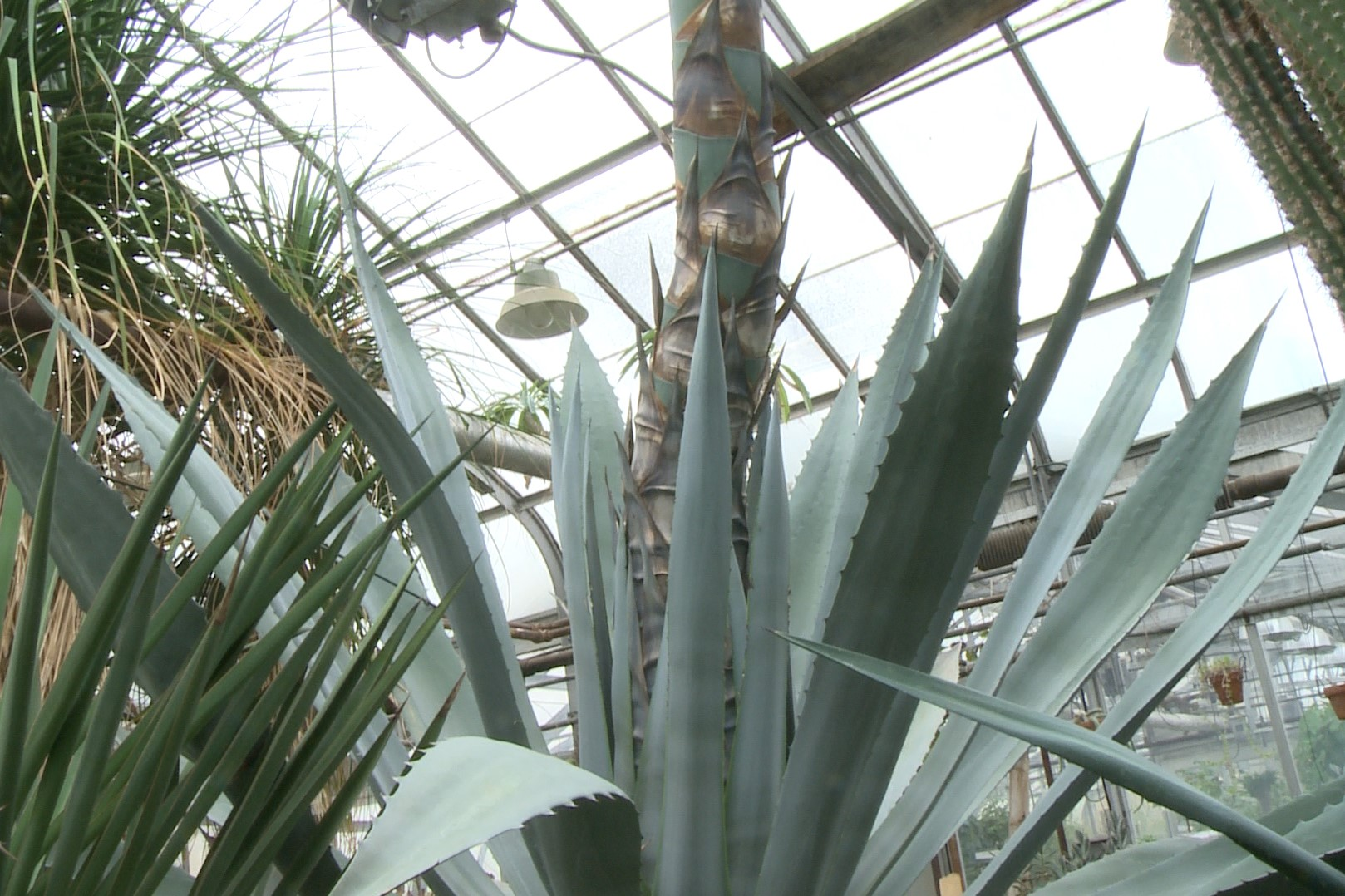 "The ""century plant"" at IU's Jordan Hall Greenhouse."