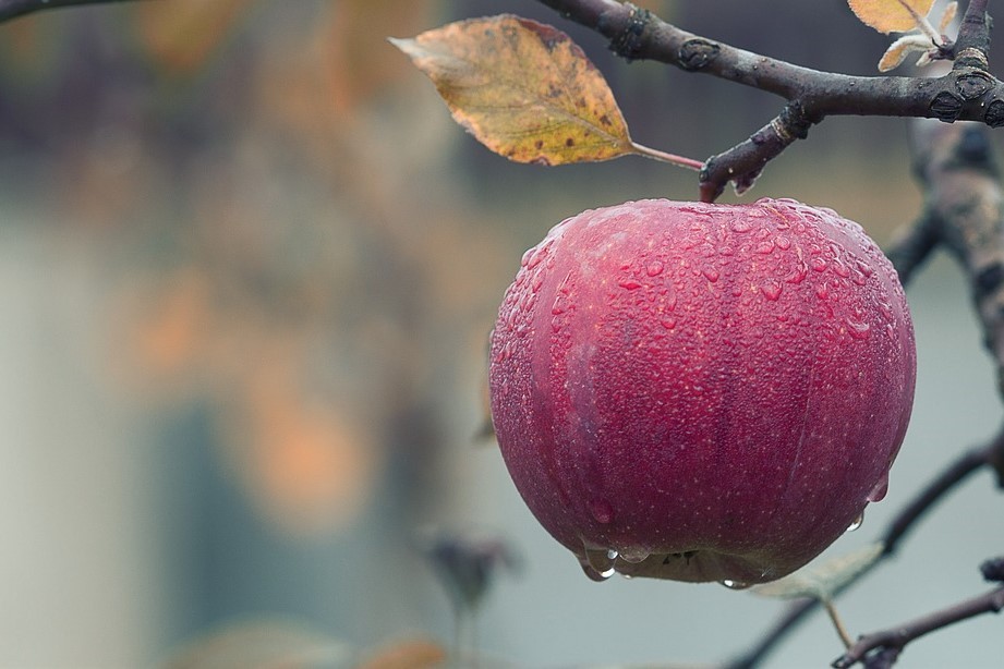 A stock image of an apple on a tree in an orchard (rainy).