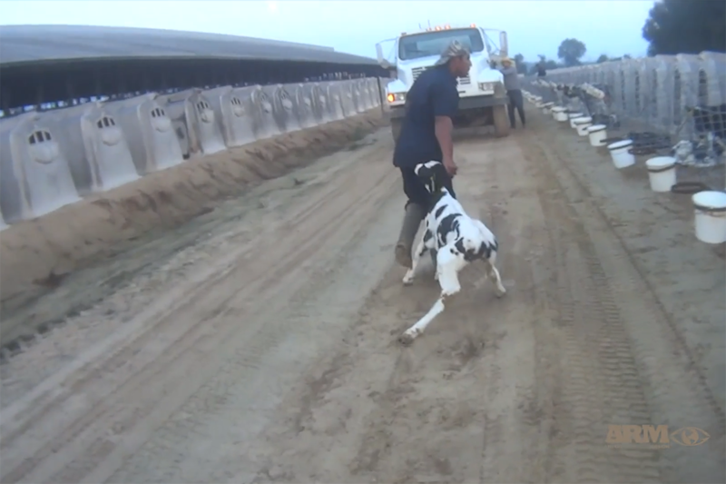 A still from the ARM video showing animal abuse at Fair Oaks Farms in June 2019.