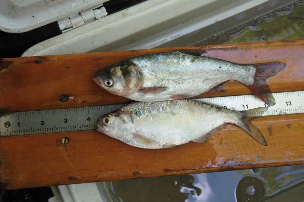 An Asian carp (top) and a shad minnow.