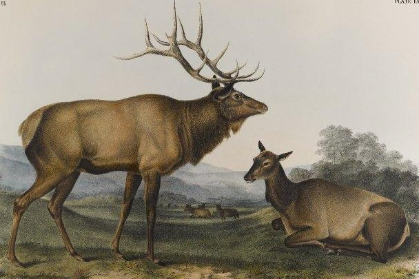 A lithograph of the eastern elk by John James Audubon.