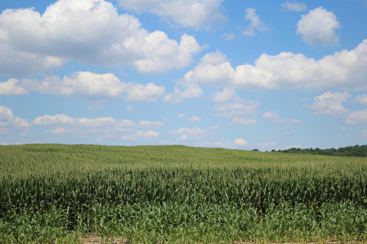 A cornfield In Elkhart County, Indiana.