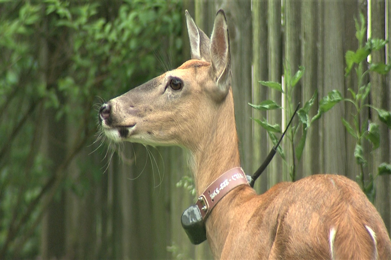A photo of a deer in Bloomington wearing a tracking collar as part of a Ball State/DNR study.