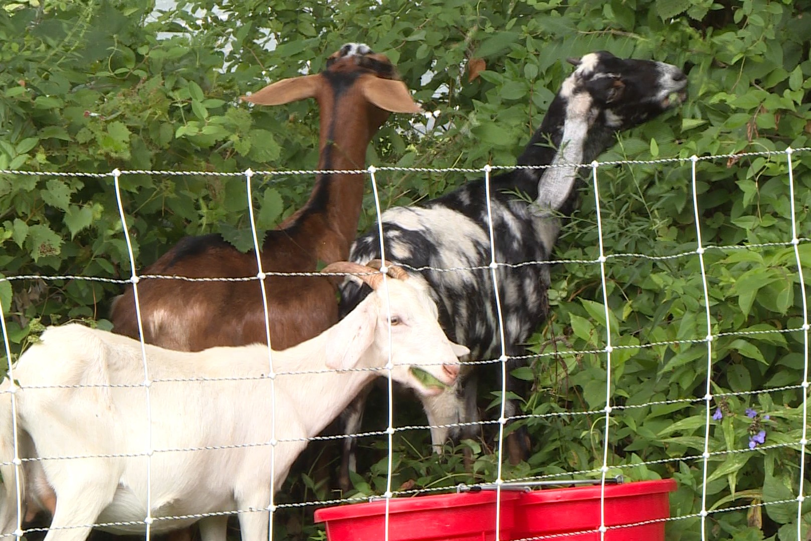 goats eating plants