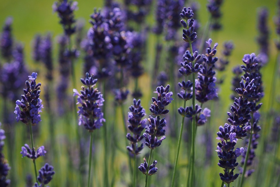 A stock photo of lavender.