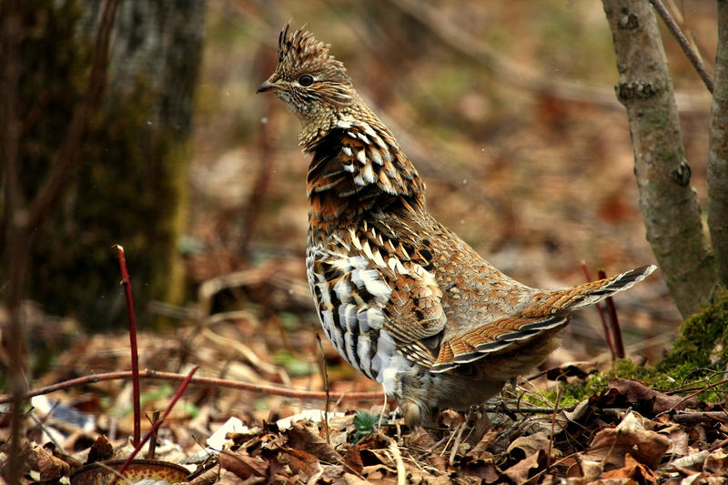 A stock image of a ruffed grouse.