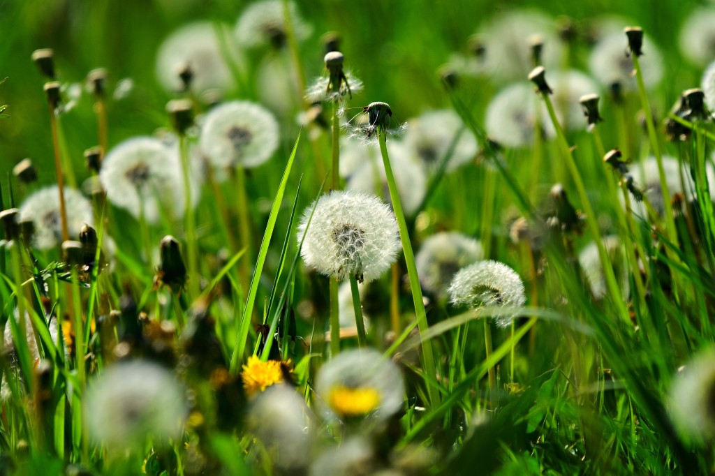 Dandelions in some grass.