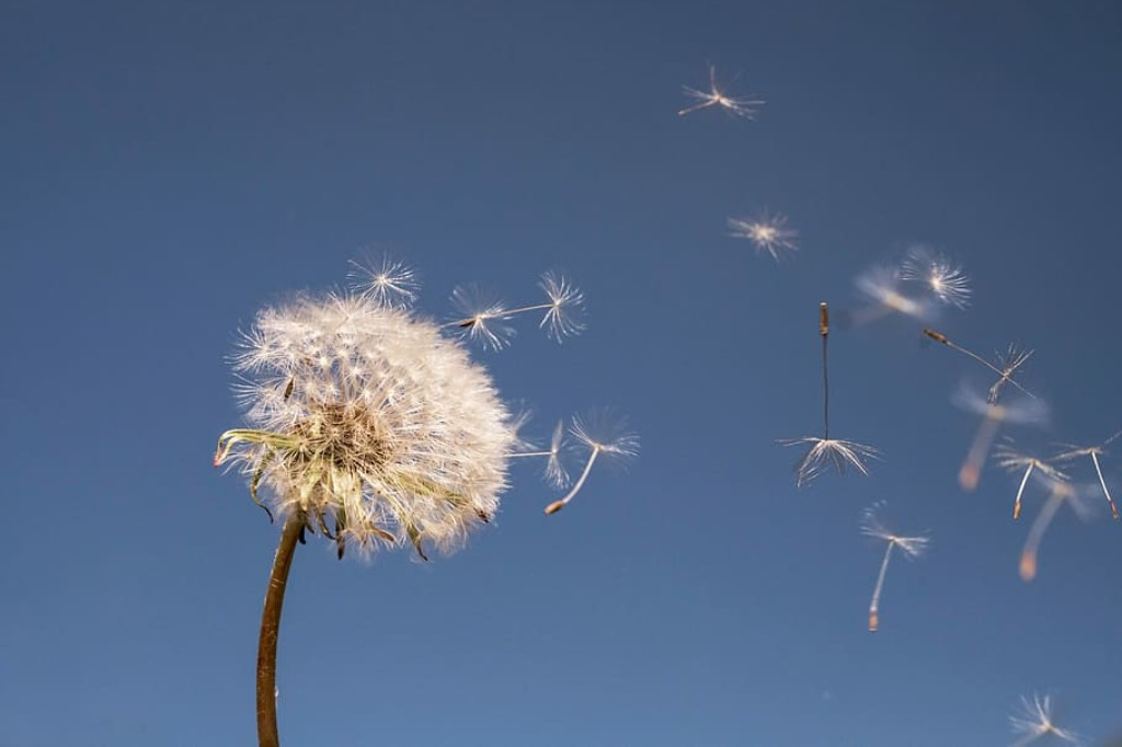 Dandelion seeds floating away into the sky.