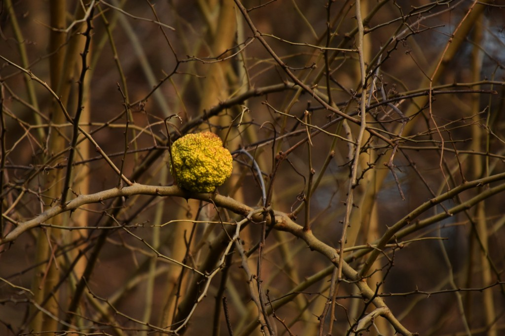 Osage orange (hedge apple).