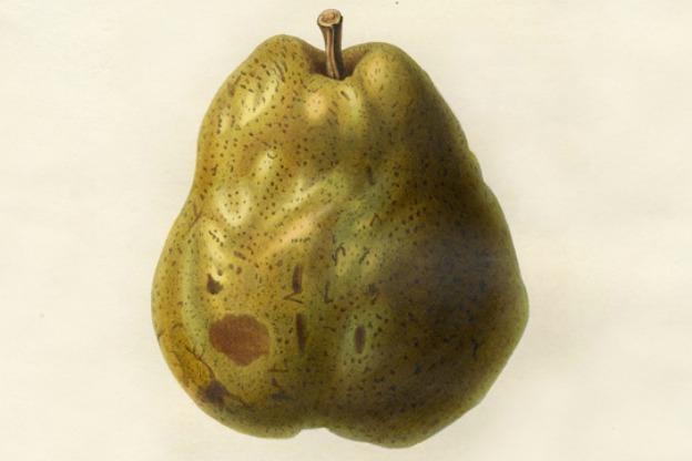 Duchess d'Angouleme pear