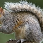 A Savory Solution For A Surfeit Of Squirrels
