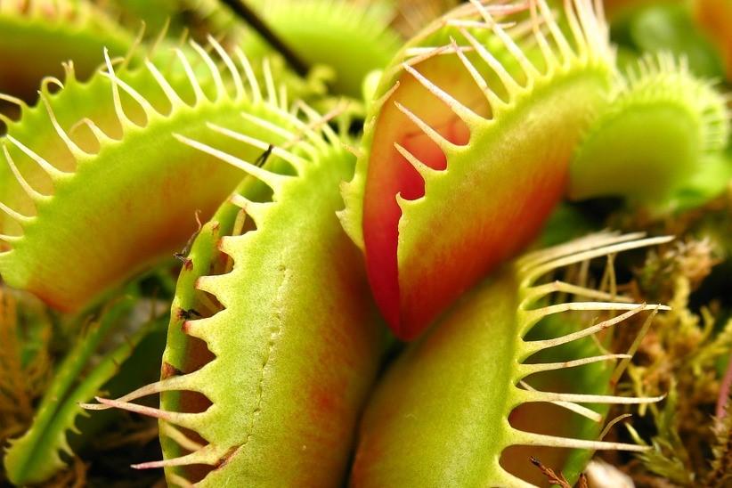 carnivorous-plant-1456932_960_720.jpg