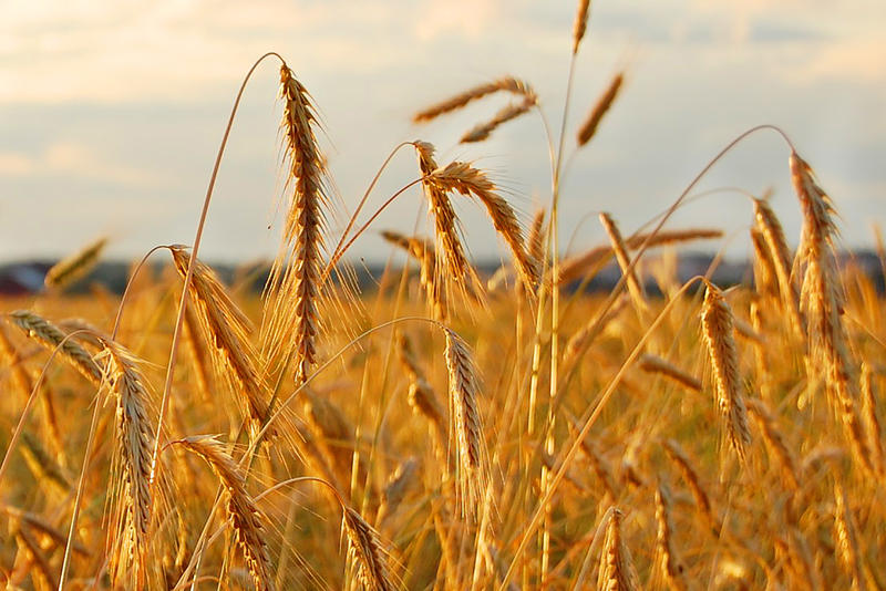 rye_field-wikimedia_commons.jpg