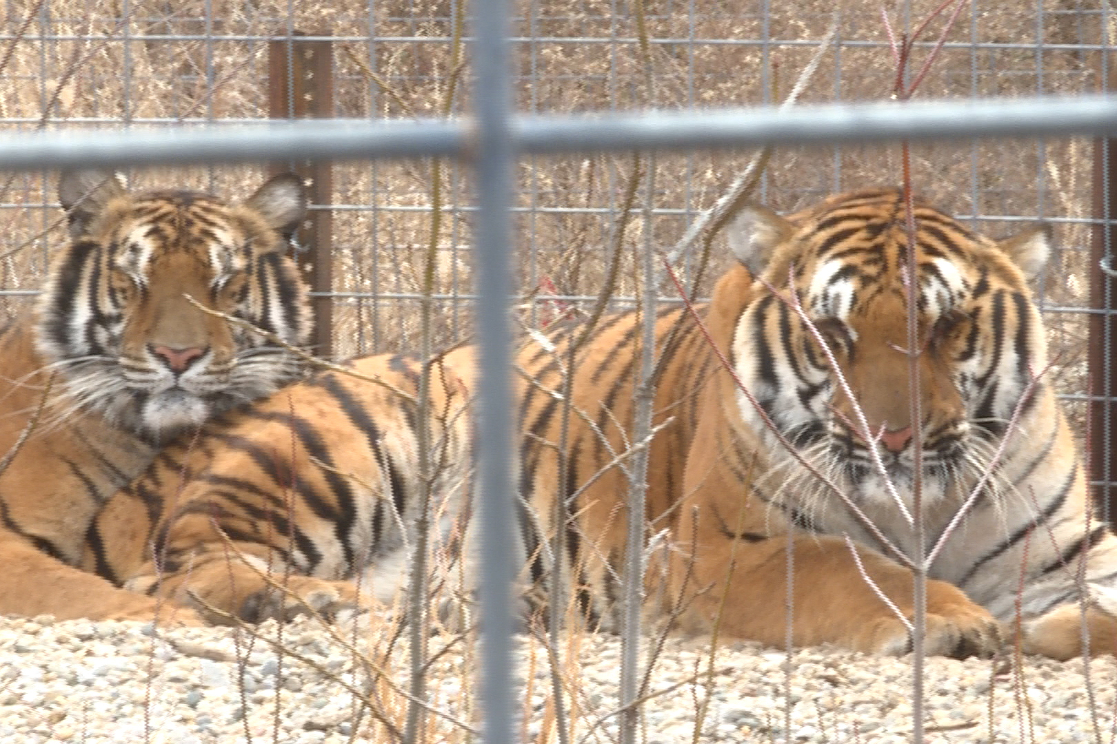 photo of tigers