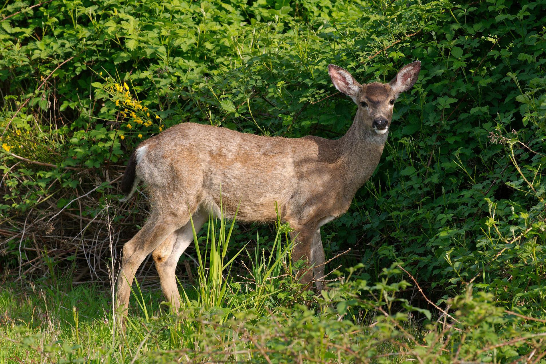 web-deer.jpg