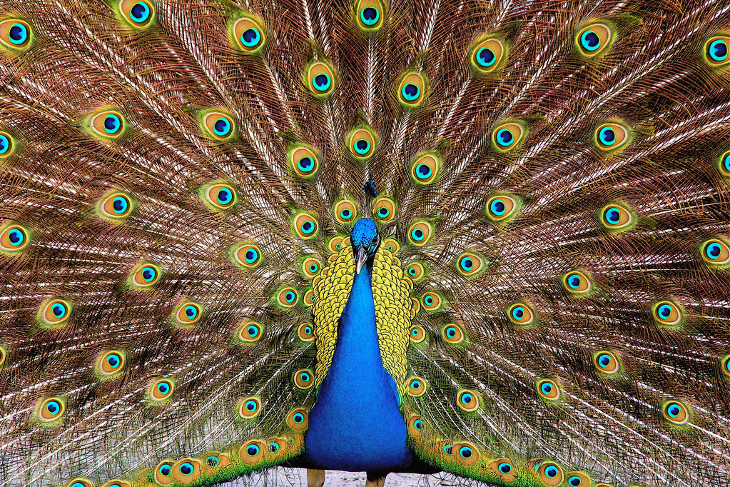 Fully Spread Peacock