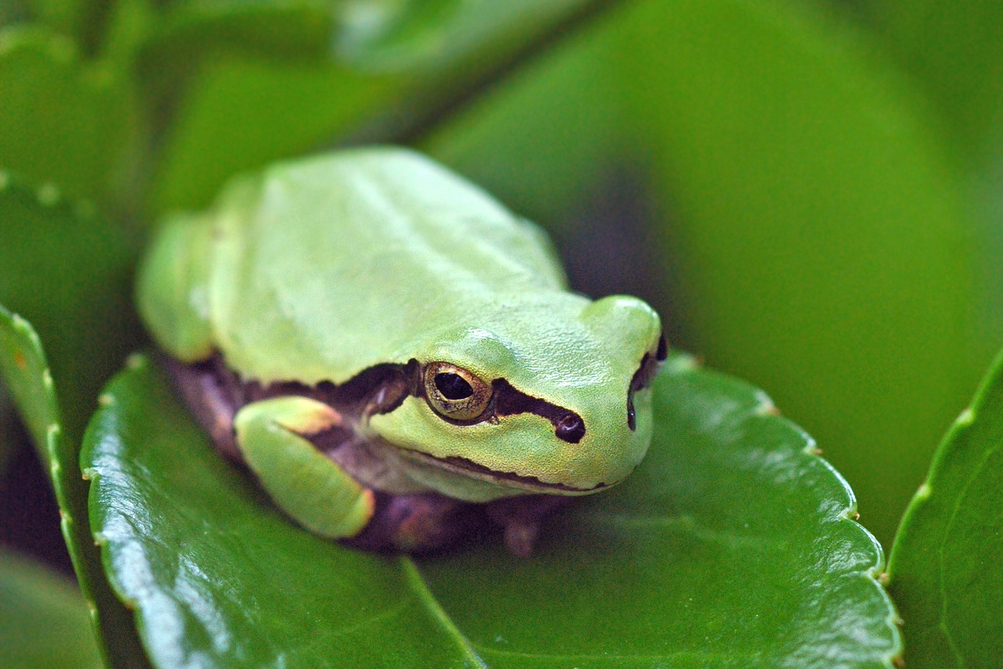 Nihon-Ama-Gaeru Japanese Tree Frog